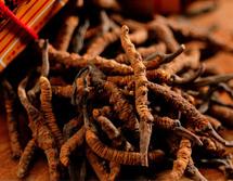 冬虫夏草怎么吃 传统和新式的吃法各不同