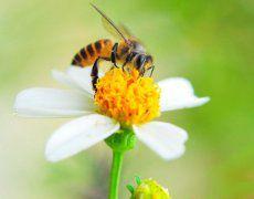 专家解答 蜂蛰就是蜂疗吗